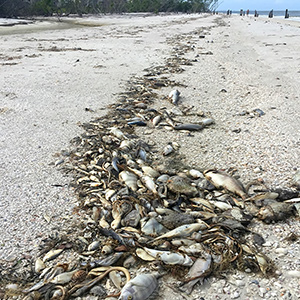 Dead fish from red tide